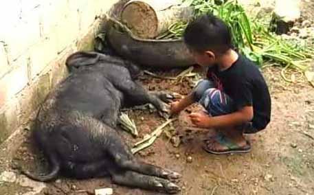 78+ Gambar Babi Sumba Paling Hist